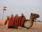 Camel ready for ride